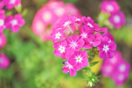 Close view on Pink phlox flowers in summer photo