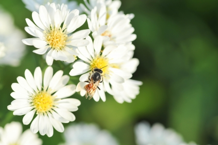 white flowers and bee with shallow DOF   photo