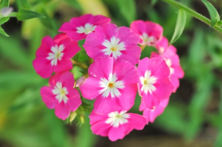 Close view on Pink phlox flowers in summer