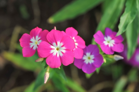 petunia wild: Close view on Pink phlox flowers in summer