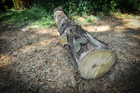 felled tree trunk photo