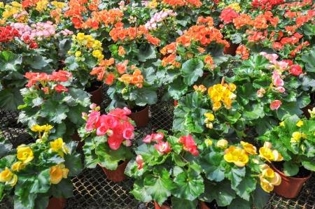 begonia: muchas flores hermosas begonia en el jard�n