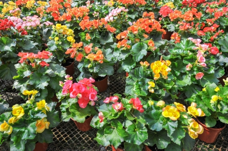 many beautiful begonia flowers in garden