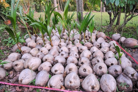 coconut seedlings:  young coconut in farm