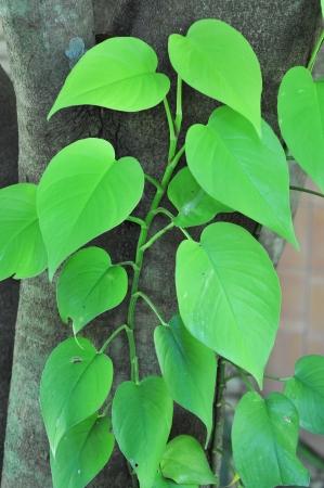 Variegated Devil s Ivy climbing on tree photo