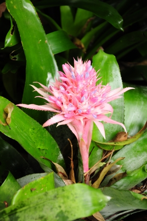 vriesea: fiore colore rosa di pianta Bromelia, vaso Bromelia argento, ananas Vriesea Archivio Fotografico