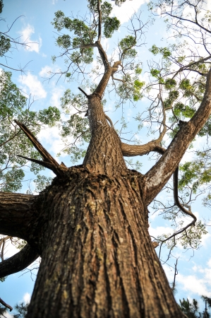 Looking up trunk of tall tree in forest photo
