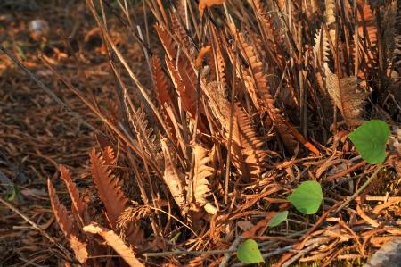 emergent: Dry fern on ground Stock Photo