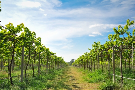 green vineyards in Thailand, Grape farm photo