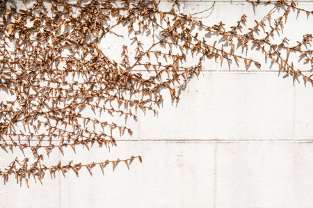 dry vines on plastered wall photo