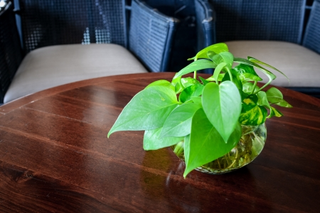 Devil s ivy decorated on wooden table