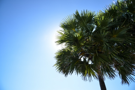 palmyra palm: silhouette of Palmyra palm tree on a blue sky