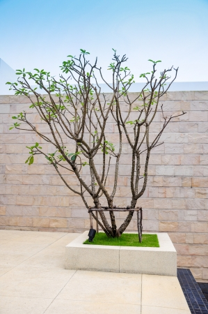frangipani tree on stone feature wall  photo