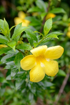 Allamanda, beautiful yellow flower  photo