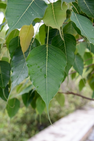 pipal: Close up of Sacred Fig Tree s leaves, also call Pipal Tree, Bohhi Tree, Bo Tree, Peepul   Ficus religiosa L