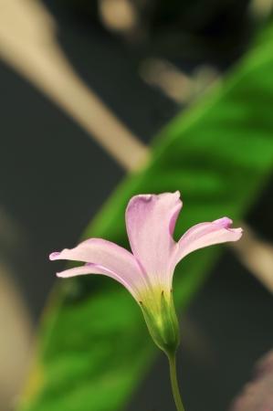 Pink oxalis  Oxalis corymbosa  in garden