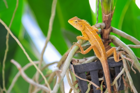 close up Lizard on orchid tree  photo