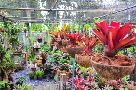 vriesea: Vriesea pineapple, bromeliad  Stock Photo