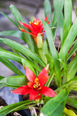vriesea: red flower of bromeliad plant,vriesea pineapple  Stock Photo