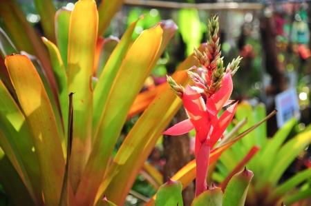 vriesea: Vriesea ananas, Bromelia