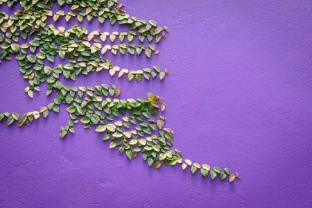 Climbing Ficus pumila on purple wall