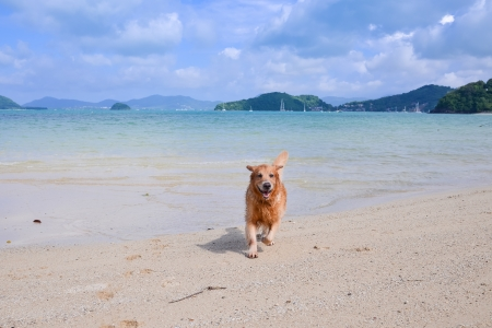golden retriever running on the beach Stock Photo - 20912839