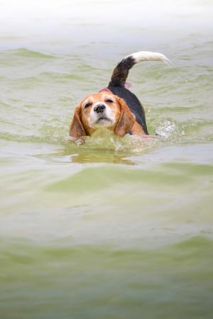 Beagle Swimming in sea  photo