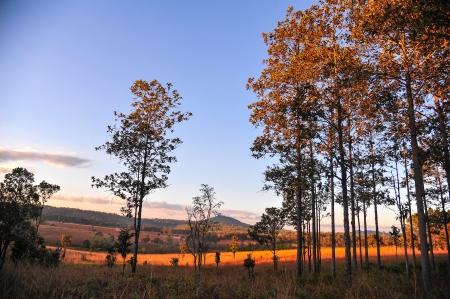 pine forest in evening time  Standard-Bild