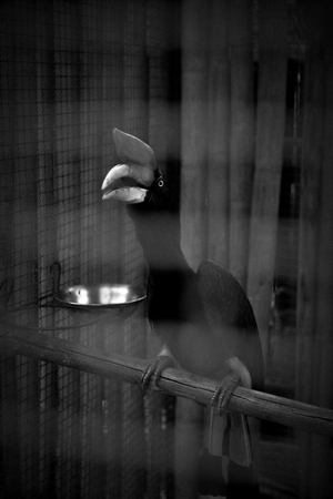 A concept of imprison with sadness emotion, Hornbill in cage in monochrome photography