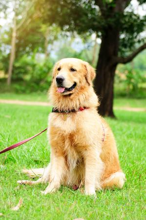 golden retriever sitting on green grass field