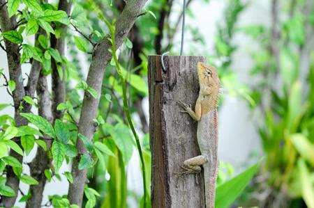 close up Lizard catch on wood Stock Photo