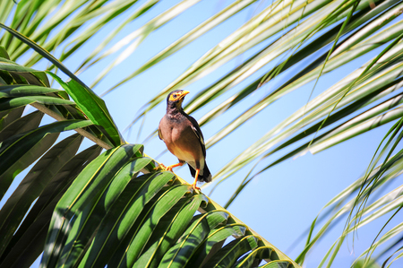 common myna bird: Common myna, Indian mynah bird with yellow eye patch perching on coconut leaves Stock Photo