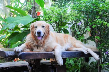 golden retriever laying on wooden table in garden terrace