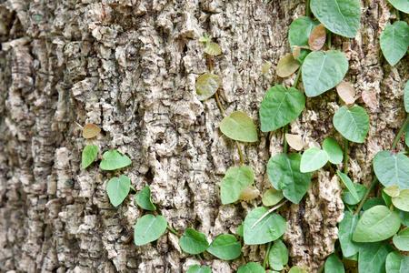 Ficus pumila climbing on tree bark, vine creeper on tree Stock Photo