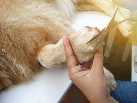 close up of golden retriever dog laying and getting hair cut