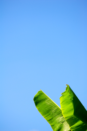 banana leaves with blue sky background