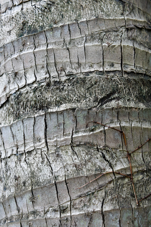 close up of coconut palm tree bark texture