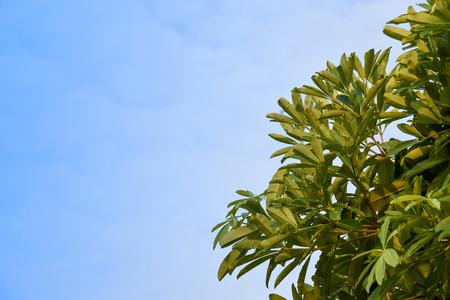 Alstonia scholaris leaves with bright sky Stock Photo
