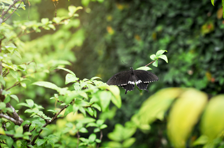 close up of beautiful black and white butterfly on leaves