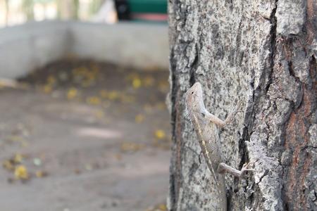 Indian Lizard