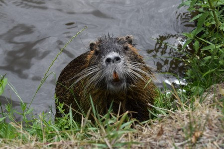 nutria in water
