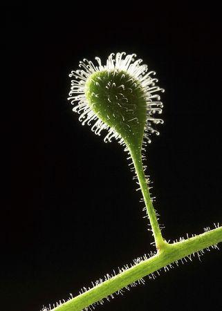 A close-up image of a sticky flower bud.