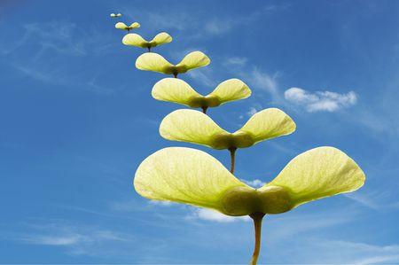 かえでの種子と青空の複合イメージ。