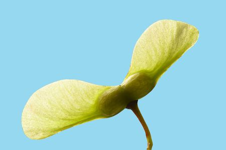A close-up green maple seed with selecting path included.