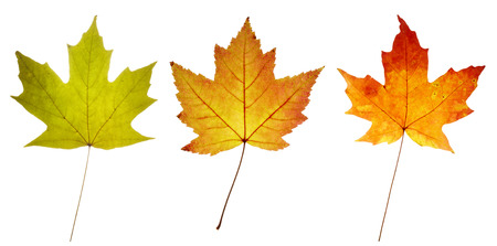 close up of three maple leaves in green yellow and red colors photo