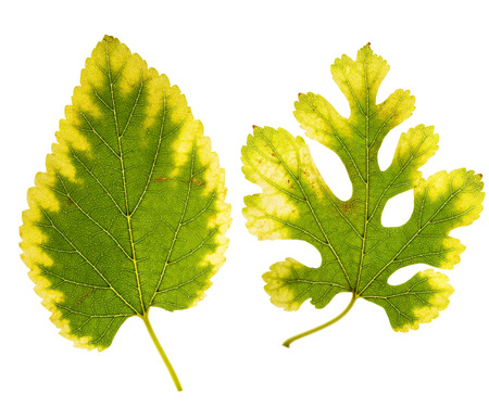 close up of two mulberry leaves changing color from green to yellow on white background