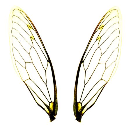close up of two isolated cicada wings on white background. photo