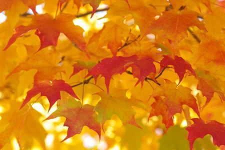 red maple leaves on green yellow bright blurry background photo