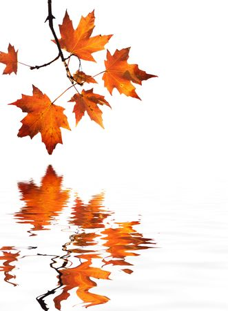 isolated red maple leaves on white background with water reflection photo