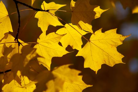 prosper: yellow maple leaves on green yellow bright blurry background with backlit sunlight Stock Photo